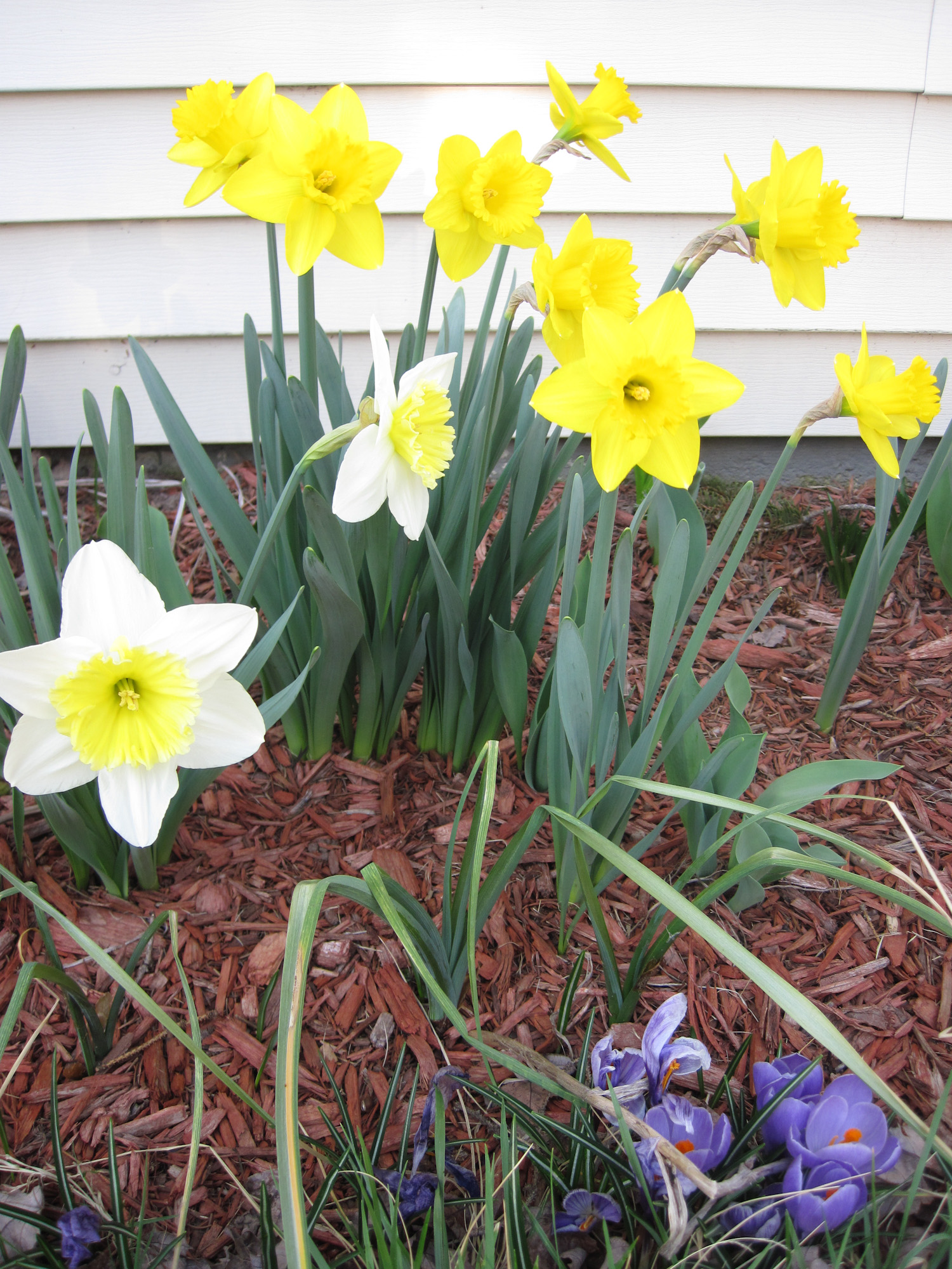 The daffodils and crocuses were out when I left, fooled by 80º+ weather