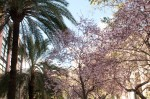Cherry blossoms in La Ribera