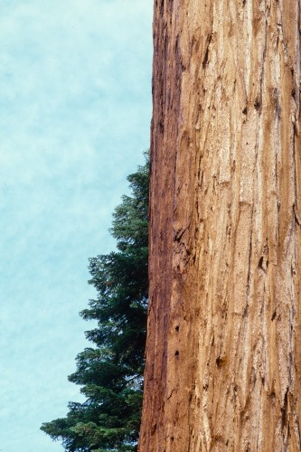 Sequoia Trunk Study #2; Sequoia NP, CA - July 2002