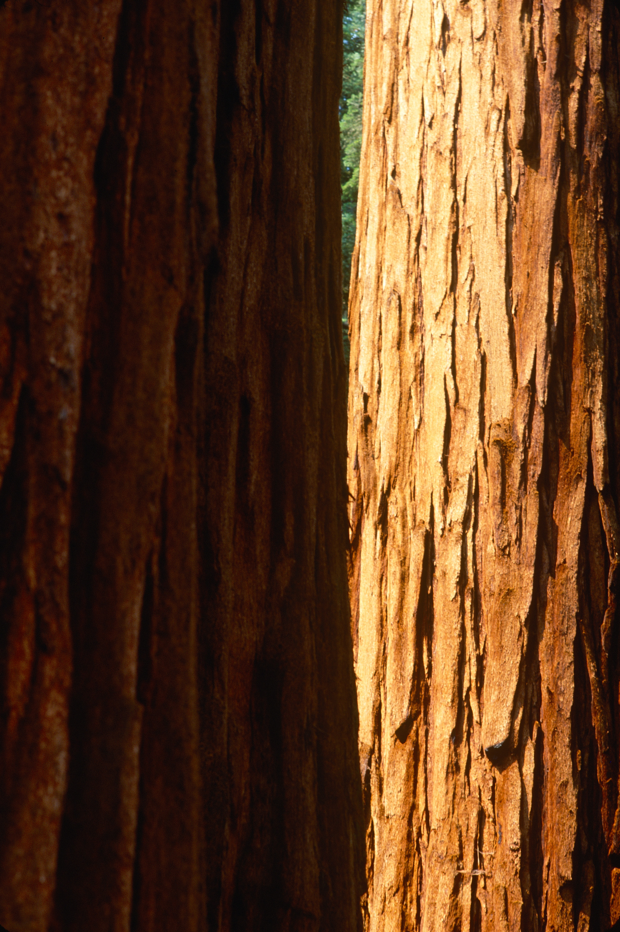 Trunk Study #9 - Sequoia NP, CA - July 2002