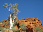 Day 13: Ghost gum tree and sandstone, Watarrka NP