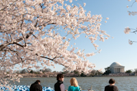 Cherry Blossoms - DC